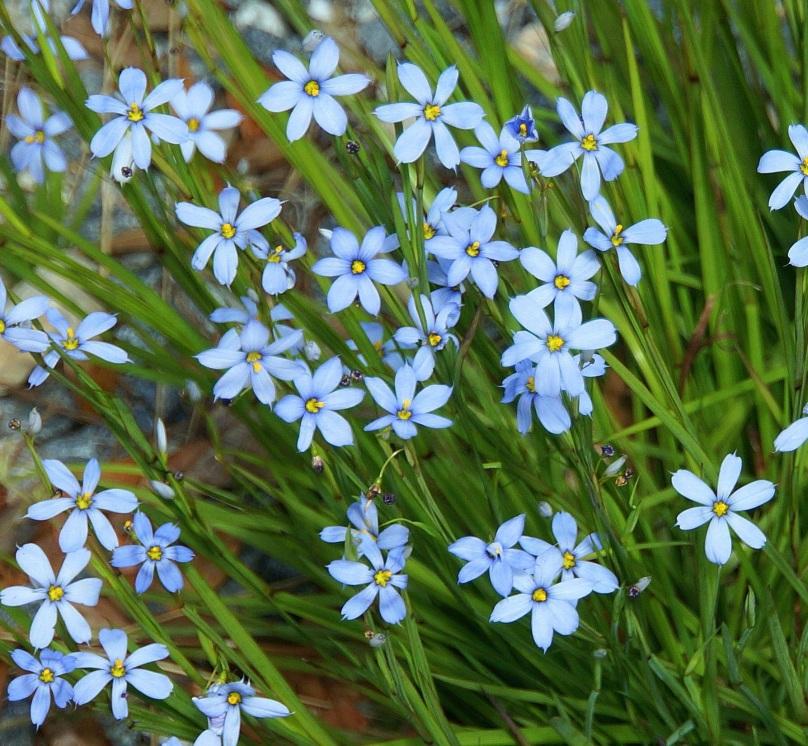 blueeyegrass more