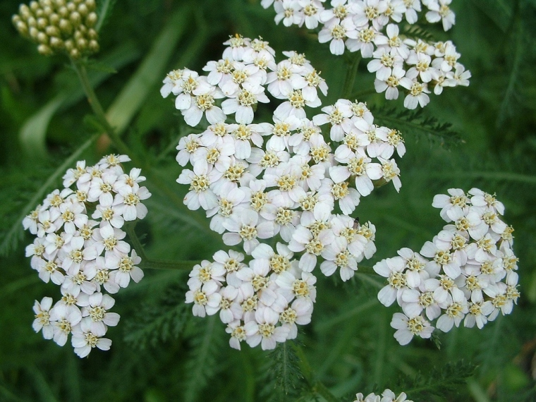 yarrow white