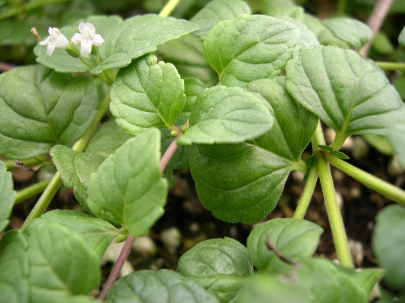 YerbaBuena flower