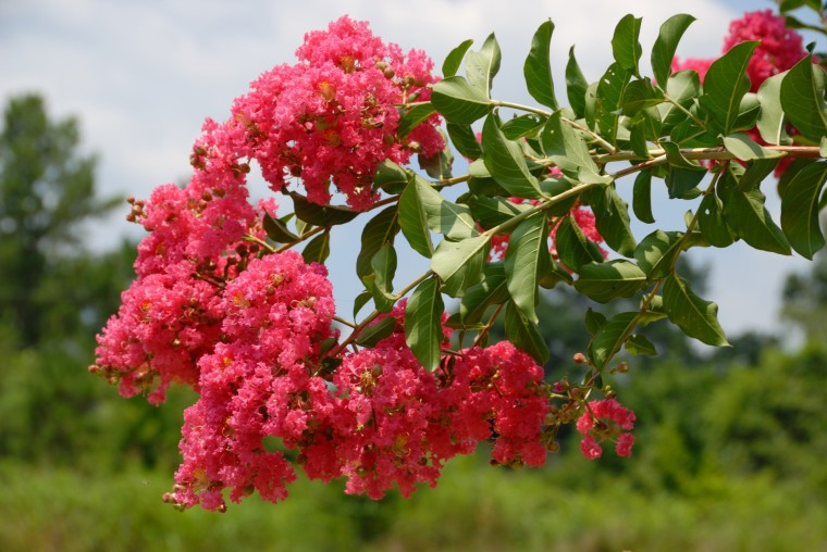 pink-crepe-myrtle-tree-1404829373dhy