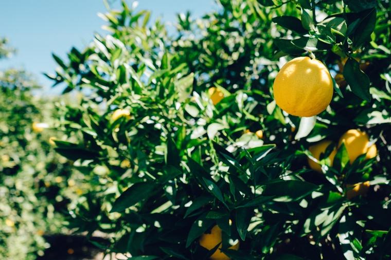tree-lemon-fruit