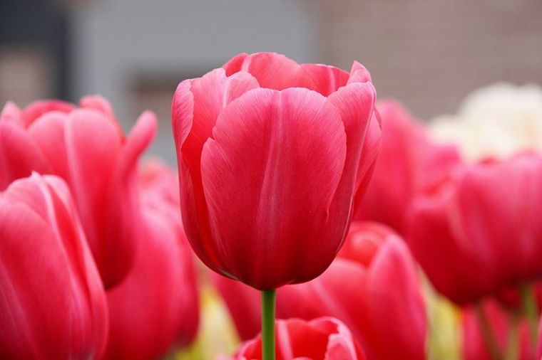 800px-pink-tulips-2009